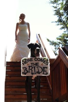 We love photos of Danes in weddings! They're something regal about them as they stand tall next to the bride and groom. Below are nine of our favorites, including one where a Dane loves the wedding cake a little too much. Enjoy! Feel free to share: