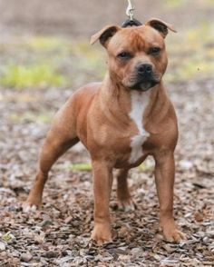ALBERMARBULL RED RIOT | Staffordshire Bull Terrier