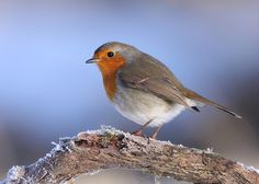 Robin+by+Karen+Summers+on+500px