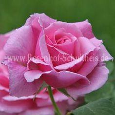 Stellmacher - Rosa - Strauchrosen - Historische_Rosen - Container - Rosen von Schultheis