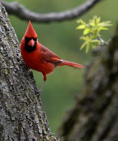 Birds don't beleive in gravity. Beautiful Birds, Beautiful Pictures, Northern Cardinal, Cardinal Birds, Heaven Sent, Bird Cards, Backyard Birds, Wild Birds, Bird Watching