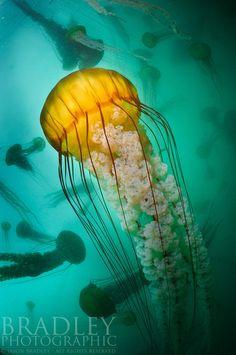 Monterey Bay -Jason Bradley  yellow under water creature
