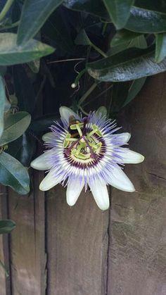 Pashion flower