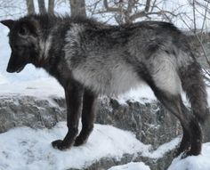 Lisa McDonald • just now Black wolf greying out. Few remain black their entire lives. Most are a blueish shade when elderly