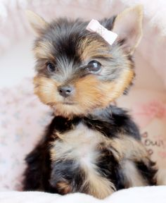 yorkie puppy by TeaCupsPuppies.com
