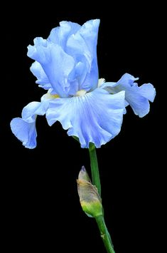 Iris Photograph - Baby Blue by Dave Mills Blue Iris Flowers, Flowers Nature, Amazing Flowers, Beautiful Flowers, Orchid Drawing, Iris Painting, Iris Garden, Floral Photography, Flower Art