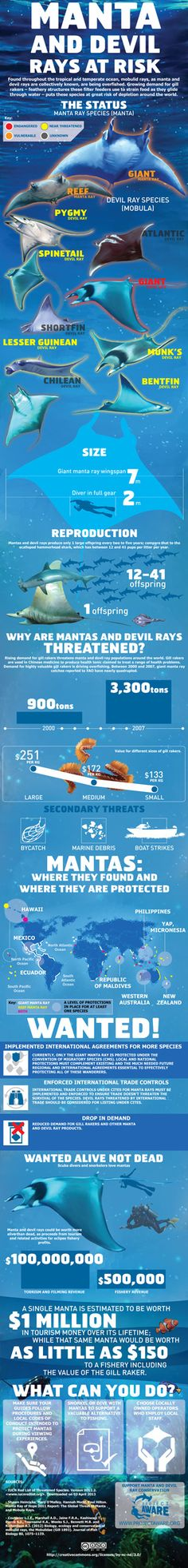 Infographic: Manta and Devil Rays at Risk Under The Water, Save Our Oceans, Oceans Of The World, Ocean Day, Ocean Life, Sistema Solar, Marine Biology, Environmental Science, Earth Science