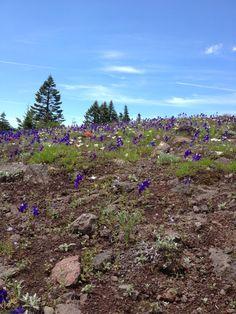 Early July larkspur on the Cone Peak trail, Santiam Wilderness