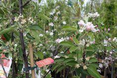 Appelbloesems