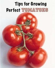 "22 Tips for Growing Perfect Tomatoes! ~ """"I grew tomatoes last year and mixed epsom salt and egg shells. I put the mixture both in the hole before planting and once a month I replenished around the base of the plant. I had so many tomatoes I had to give half away."""