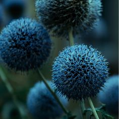 Persian Blue Allium~The tall allium stems combine beautifully with low-growing…