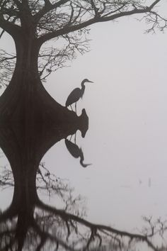 Great Blue Heron on foggy morning at Mattamuskeet Heron Tattoo, Organic Art, Botanical Tattoo, Foggy Morning, Expressive Art, Time Tattoos, Blue Heron, Nature Tattoos, Bird Design