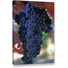 Kathy Yates On The Vine Canvas Art, Size: 16 x 24, White