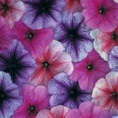 1,000 pelleted petunia seeds Prism Sundae Mix