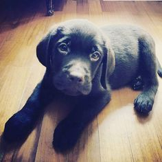 Orsetti neri alla riscossa  Foto di: @areacmilano  #BauSocial  Dante ... a new entry !!!! #associazione #areacmilano #welovedogs #followforfollow #followus #cane #dog #labradorchocolate #puppy #newentry #igclubdogs #igcutest #iglabradors #instapage #milano #parcosempione