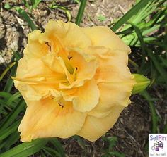 $24.99: APRICOT CREAM TRUFFLE DAYLILY-SF Apricot double beauty! Day Lilies, Truffles, Cream, Rose, Flowers, Plants, Beauty, Creme Caramel, Pink