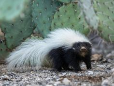 Photo of the Day Archive Baby Skunks, Hoover Dam, Lake Powell, Strike A Pose, Photo Archive, Tucson, Mammals, Monument Valley, Arizona