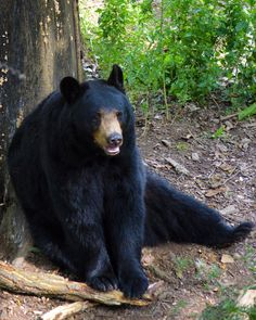 Picture of a black bear.