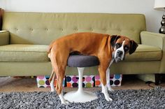This dog's attempt at understanding furniture. | The 61 Most Awkward Moments In The History Of Dogs