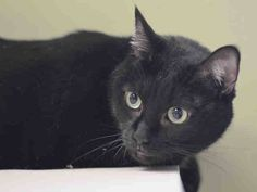 ***GONE BUT NOT FORGOTTEN*** 11/26/14 Manhattan Center  My name is PRECIOUS. My Animal ID # is A1020530. I am a female black and white domestic sh. The shelter thinks I am about 6 YEARS old.  I came in the shelter as a OWNER SUR on 11/13/2014 owner surrender reason stated was INAD FACIL. Precious lived with her owner for 5-6 years until she passed away. Her friend took her in 1 month ago and has been trying to find a home for her but can't keep her because he doesn't have enough space.