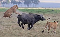 The buffalo fought back and managed to launch one of the lionesses into the air during the scuffle Picture: Renaud and Haution / Barcroft Media