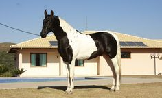 Invicto da Barraca - Campolina stallion