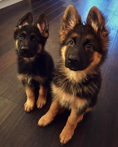 German Shepherds are the BEST companions ~ The trouble with most pets ~ they don - German Shepherd - Dogs Baby Animals Pictures, Cute Animal Pictures, Dog Pictures, Funny Pictures, Cute Baby Dogs, Cute Dogs And Puppies, Gsd Puppies, Doggies, Really Cute Puppies