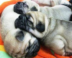 ^^Read information on teacup pugs for sale. Check the webpage to find out more Viewing the website is worth your time. Teacup Pugs For Sale, Amor Pug, Baby Animals, Cute Animals, Pug Pictures, Pug Pics, Pugs And Kisses, Baby Pugs, Cute Pugs