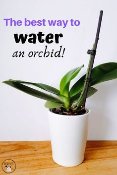 There truly is only one way to water an orchid, at least correctly. The ice method can cause damage to the roots and potentially kill your beautiful orchid. Learn how to properly water your orchid. Orchids In Water, Indoor Orchids, Orchids Garden, Succulents Garden, Garden Plants, Planting Flowers, Indoor Plants, House Plants, Hanging Plants