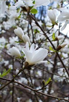 Kuistin kautta: Magnoliapuut kukkivat / Magnolia