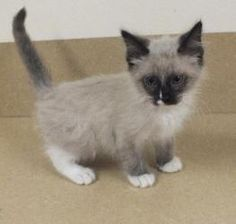 Thor is an adoptable Ragdoll Cat in Monroe, LA. Hi there, my name is Thor.  I'm a 9 week old, male, Ragdoll mix.  I'm very, very lovable but full of mischief.  I'm a sweet boy who needs an energetic a...