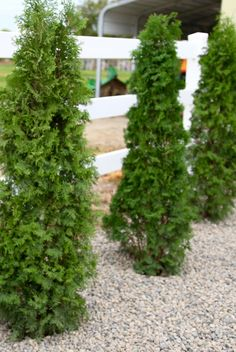 Learn how to use North Pole arborvitae to create privacy in your backyard, or to block the wind. Beautiful plants, with a purpose!