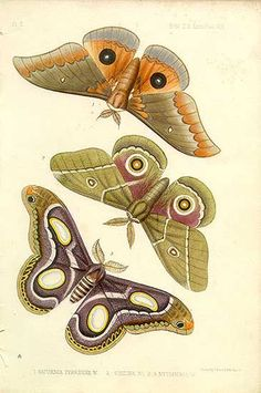 Antique print: picture of Tropical butterflies/moths - Africa - Saturinia tyrrhena, belina and mythimnia Butterfly Illustration, Nature Illustration, Botanical Illustration, Vintage Butterfly, Butterfly Art, Butterflies, Moth Tattoo, Insect Art, Nature Drawing
