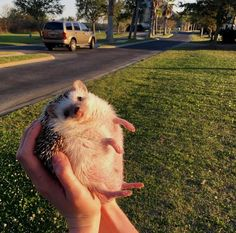 member of the family: Willy-gilly-Hilly the Cute Creatures, Beautiful Creatures, Animals Beautiful, Animals And Pets, Funny Animals, Cute Hedgehog, Hedgehog Animal, Cute Little Animals, Ravenclaw