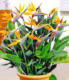 Paradiesvogel-Blume
