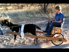 Homemade Goat Cart and training your goat to pull. I want to do this!