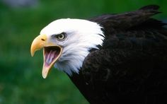 Among the thousand of birds, eagle is one of the most unique bird in the world and eagle facts give some interesting information as well. See eagle pictures. Bald Eagle Pictures, Eagle Images, Bird Pictures, Animal Pictures, Pictures Images, Eagle Wallpaper, Tier Wallpaper, Animal Wallpaper, Wildlife Wallpaper