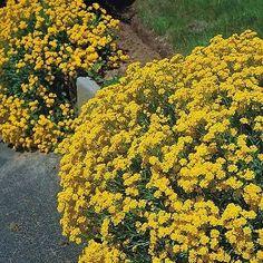 200+ Alyssum Mountain Gold Flower Seeds , Under The Sun Seeds