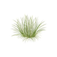 Festuca spp. (Fescue) Grasses/Herbaceous Plants Vector... ❤ liked on Polyvore featuring home, home decor et plants