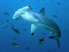 Hammerhead shark (Cocos Island national park, Costa Rica)