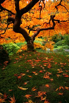 Cropped Orange hued Japanese maple tree in Portland
