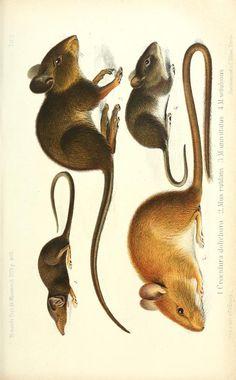 Über die von dem verstorbenen Professor Dr. Reinhold Buchbolz in Westafrika gesammelten Säugethiere