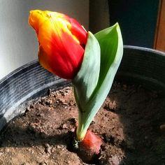 My current favorite piece of art. #Tulip #Flower #FireFlower #Fire #Beautiful #Art #Esbon #Kansas #Esbonarts #Esbonart