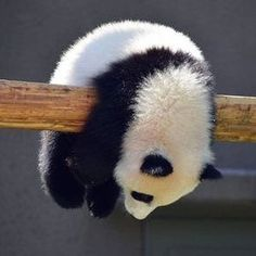 People love Pandas they are like babies. They are cute and cuddly.But do you know that a giant panda is actually a bear. Here are Interesting Fun Facts About Panda You Probably Didn't Know Before. Niedlicher Panda, Cute Panda, Panda Funny, Funny Pigs, Funny Panda Pictures, Cute Animal Pictures, Baby Pictures, Cute Little Animals, Cute Funny Animals