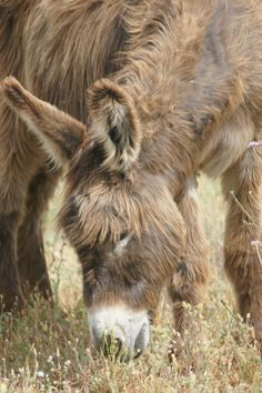 nez dans l'herbe... Baudet du Poitou, a donkey french breed