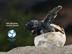 Help Save Baby Turtles
