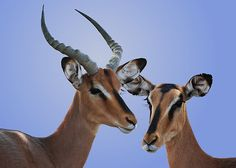 Africa | Black Faced Impala is generally limited to Northern Namibia |  © Michael Sheridan
