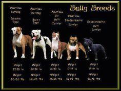 Bully breed types... Molly is a Scott American Bulldog