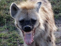 spotted hyena, teeth, mouth open