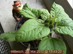 Aufatmen! Die bestialischen Gewitter im Münsterland haben die Webcam-Sonnenblume verschont!